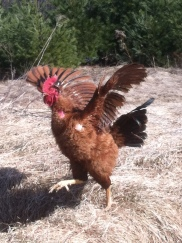 Ruby the Rooster